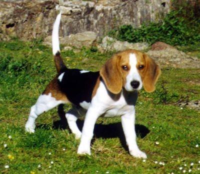 Perros-beagle.min