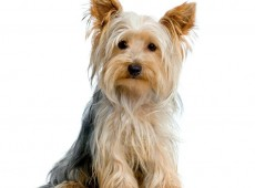 yorkshire_terrier_istock_000002265853small.min