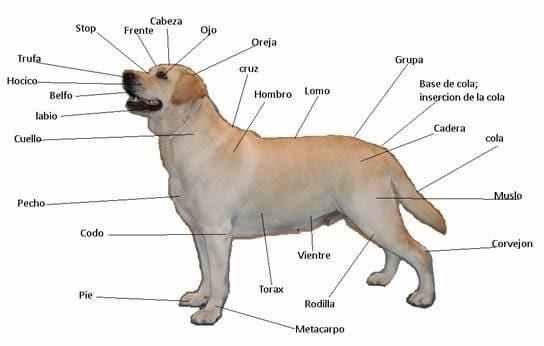 Cuales son las partes del cuerpo del perro