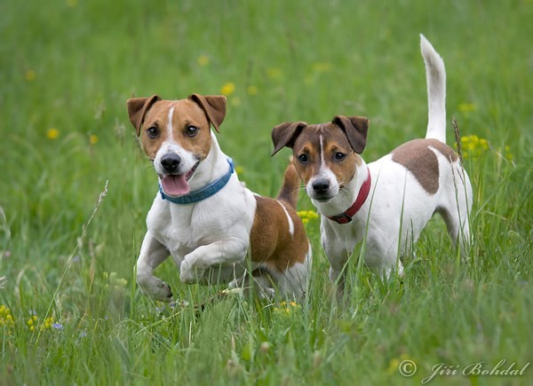 jack-russell-terier-100305-min